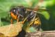 Lutte contre le frelon asiatique – Détection primordiale pour limiter son expansion