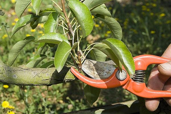 Initiation à la taille des arbres fruitiers - Samedi 7 mars